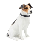 Jack Russell Sitting with Leather Collar