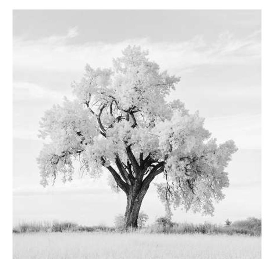 Lone Oak Tree In Black White Small Framed Print By Framed Prints